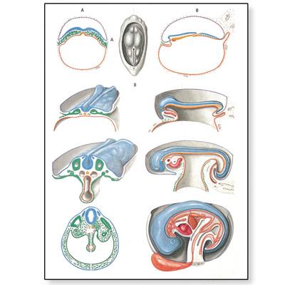 Embryologia